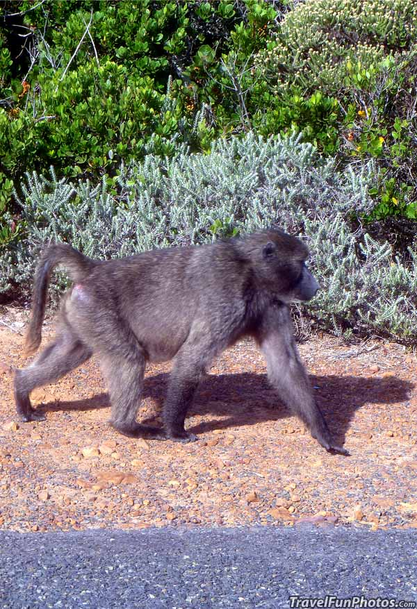 Baboon on Cape of Good Hope in Cape Town, South Africa