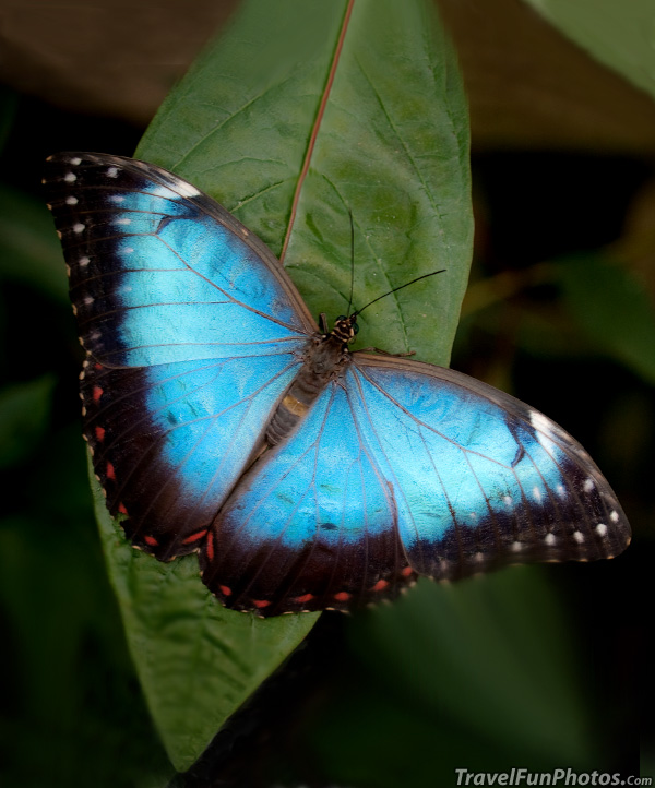 Blue Morpho Butterfly - Bridgetown, England