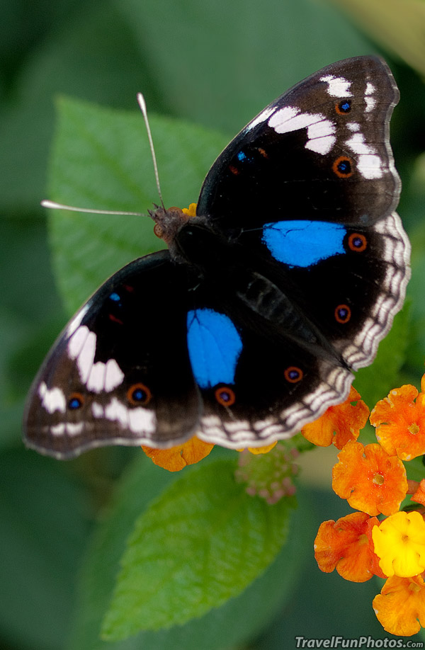 Blue Pansy Butterfly - Bridgetown, England