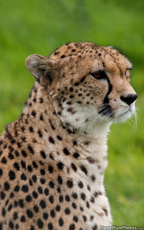 Beautiful Cheetah in Dagnall, England