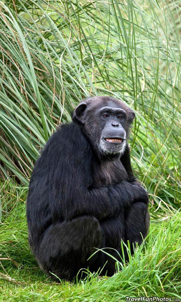 Chimpanzee at Whipsnade Zoo - Dagnall, England