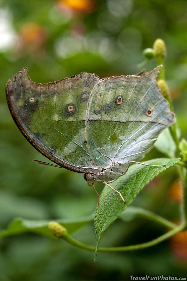 Clouded Mother of Pearl Butterfly - Bridgetown, England