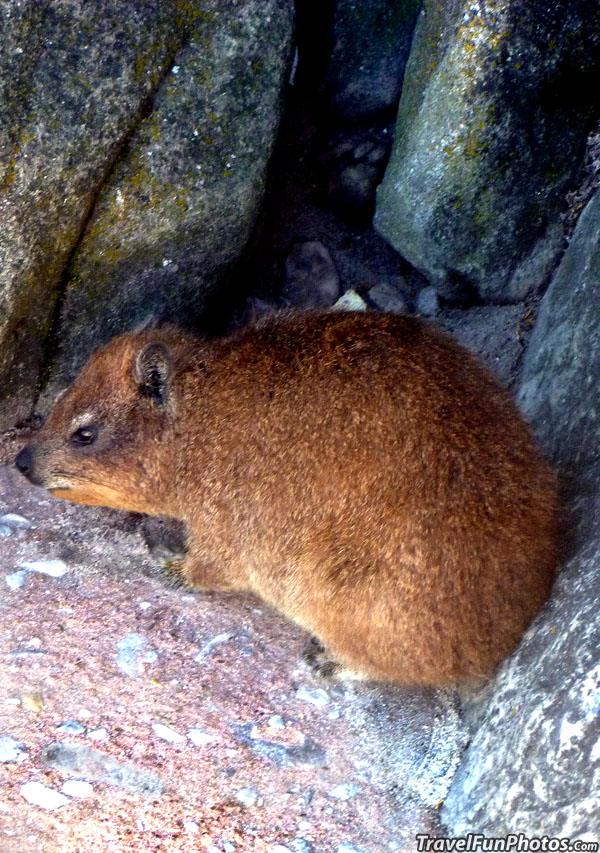 Dassie or Rock Hyrax of Cape Town, South Africa