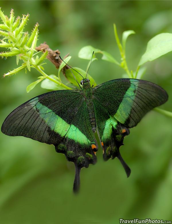 Emerald Swallowtail Butterfly - Bridgetown, England