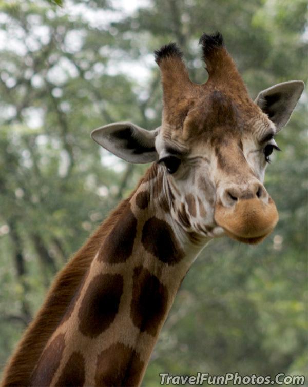 Posing Giraffe - Taman Wildlife Safari in Indonesia