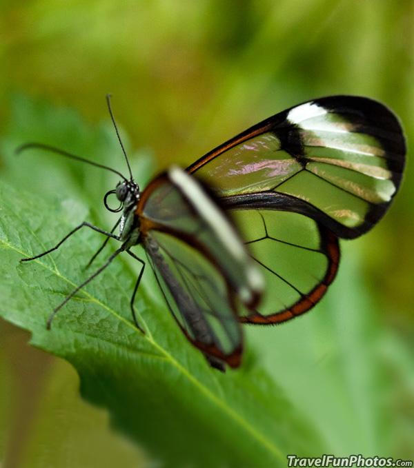 Glasswing Butterfly - Bridgetown, England