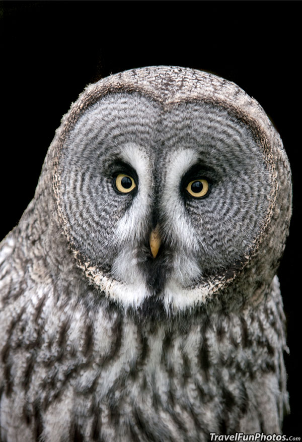 Great Grey Owl at Paradise Wildlife Park in Broxbourne, Hertfordshire, England