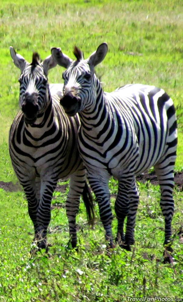 Zebras in Tanzania, Africa