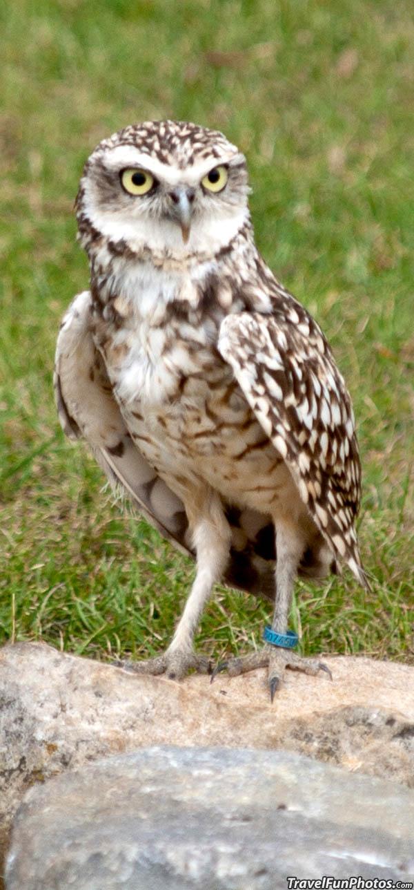 Little Owl at Whipsnade Zoo - Dagnall, England