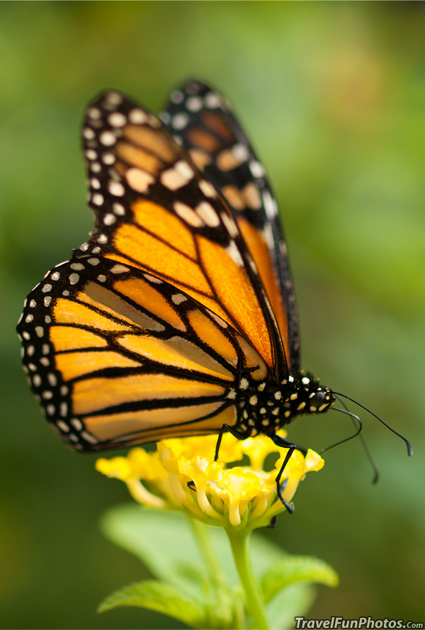 Monarch Butterfly at Palmitos Park in Gran Canaria, Spain