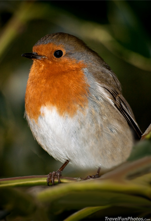 Robin in Kew Gardens - London, England