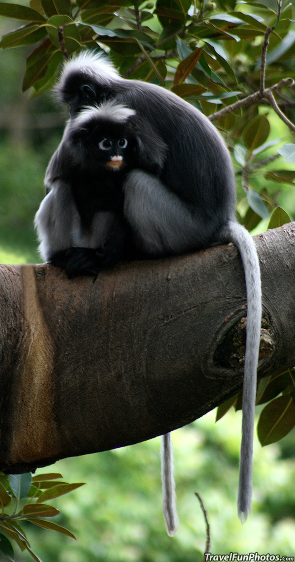The Dusky Leaf Monkey (spectacled Langur) in South Australia