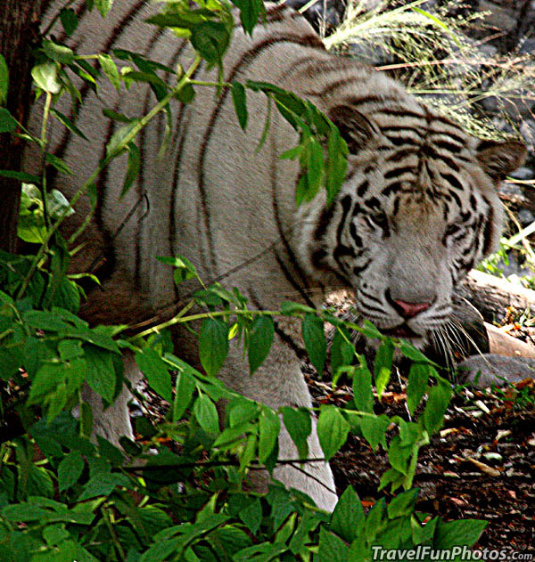 White Tiger in Jakarta, Indonesia